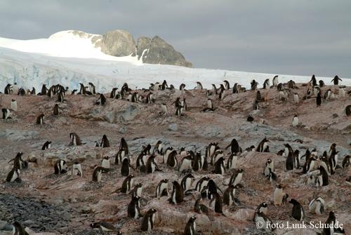 pinguin1