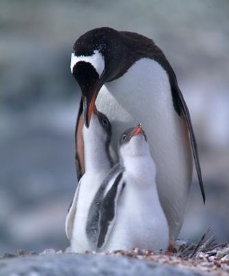 pinguin5