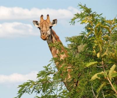 za-giraffe-hoofd