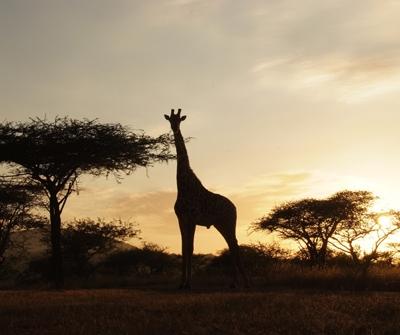 za-giraffe-sillouette