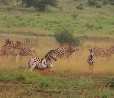 za-zebra