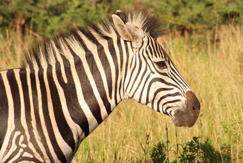za-een-zebra